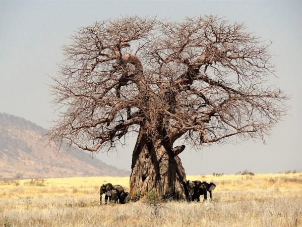 Baobab Tree, Africa