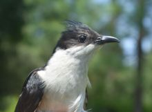 Migratory-bird-the-Pied-Cuckoo-gets-fitted-with-satellite-trasmitters