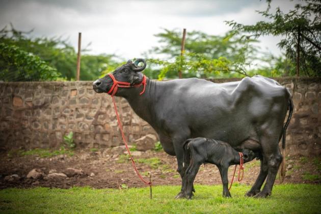 Buffalo and Calves