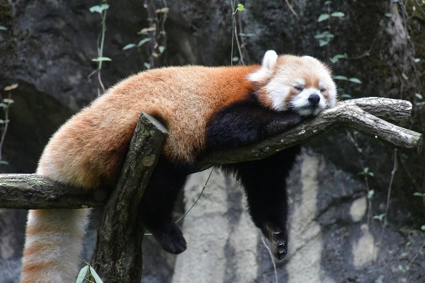 Red Panda relaxing on the tree