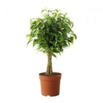ficus-benjamina-natasja-potted-plant__67443_PE181284_S4
