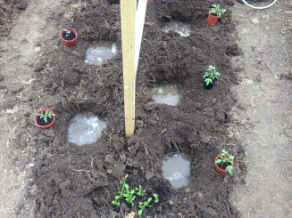 water filled holes for tomatoes
