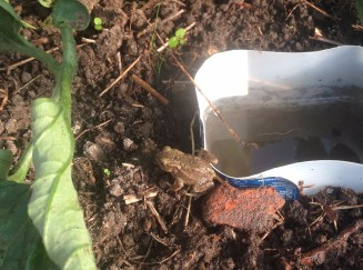 frog in polytunnel