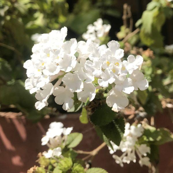 Lantana white