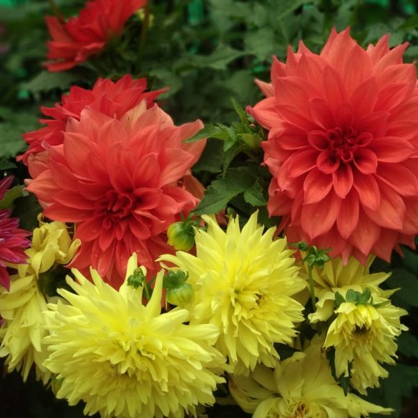 Dahlia yellow and red