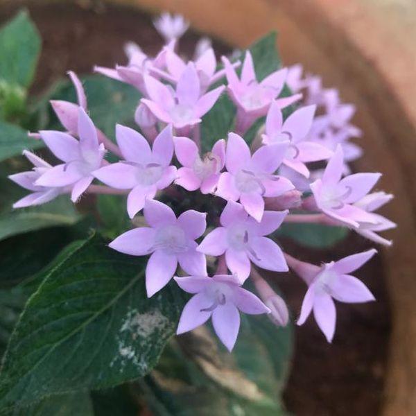 Pentas Lanceolata: Star flower