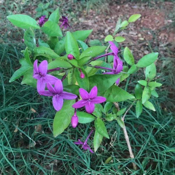 Pseuderanthemum Laxiflorum