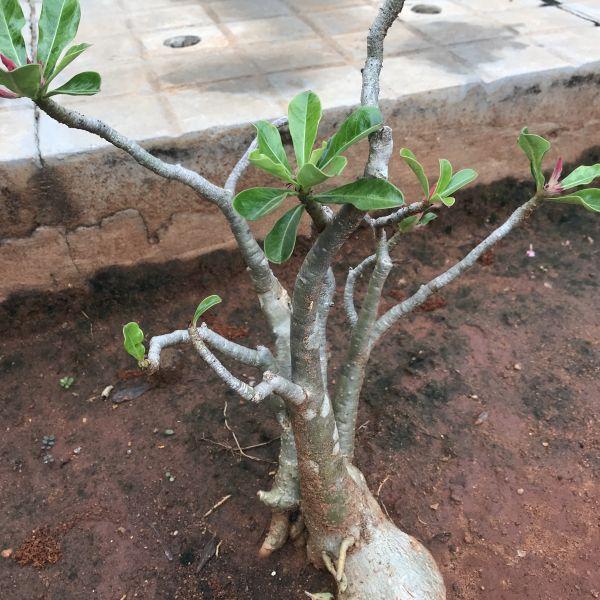Adenium Obesum: Desert rose