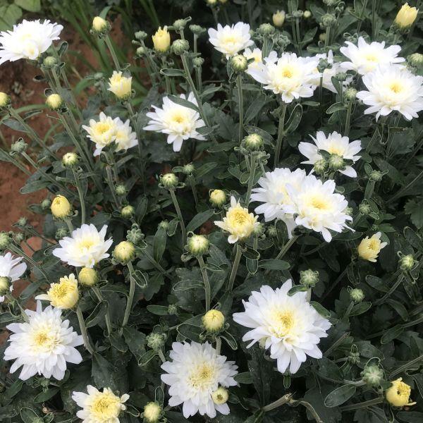 Chrysanthemums: Mums