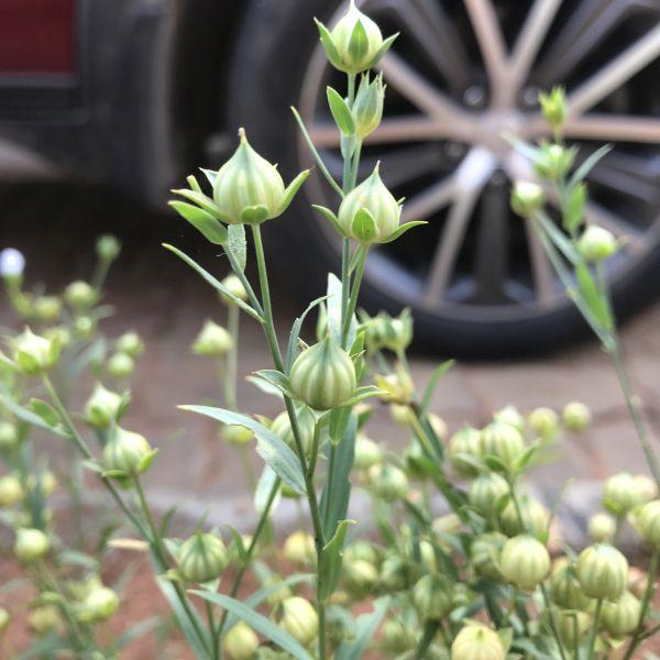 Linum Usitatissimum: Flax