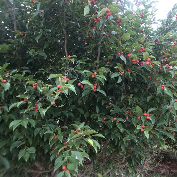 Ficus Benjamina - Ficus tree