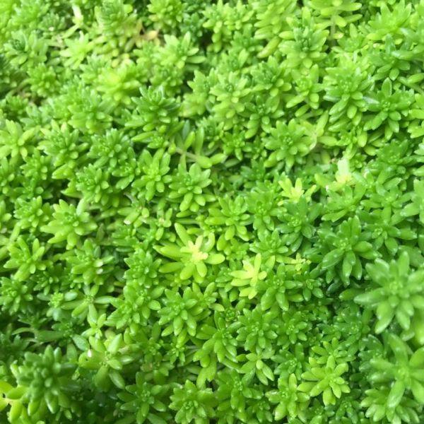 Sedum Acre: Goldmoss stonecrop