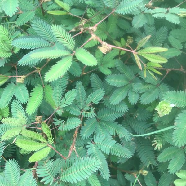 Mimosa Pudica: Touch me not