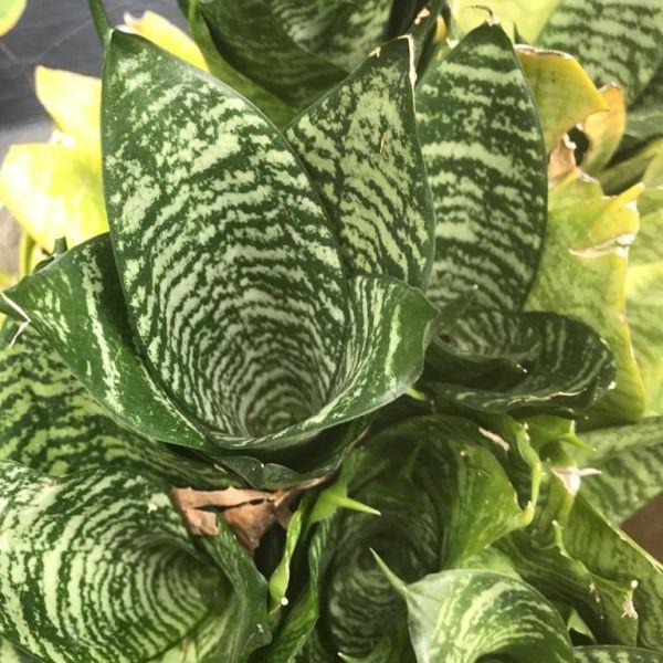 Dracaena Trifasciata: Snake plant