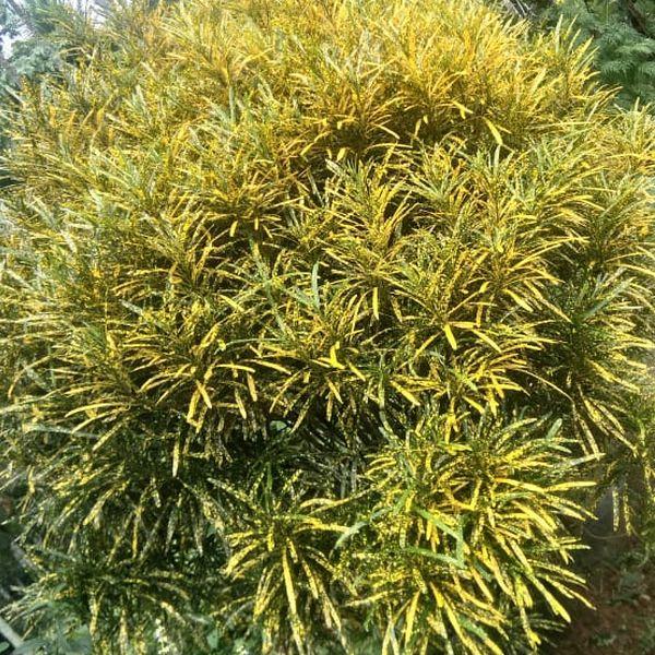 Codiaeum Variegatum: Croton