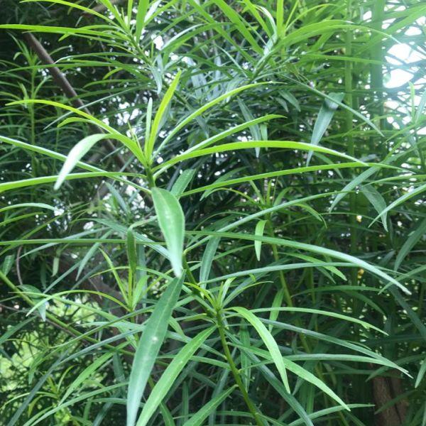 Cascabela Thevetia: Yellow Oleander