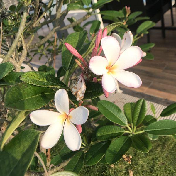 Plumeria Obtusa: Frangipani