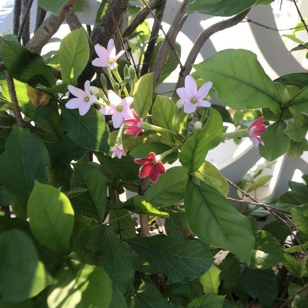 Combretum indicum: Chinese honeysuckle
