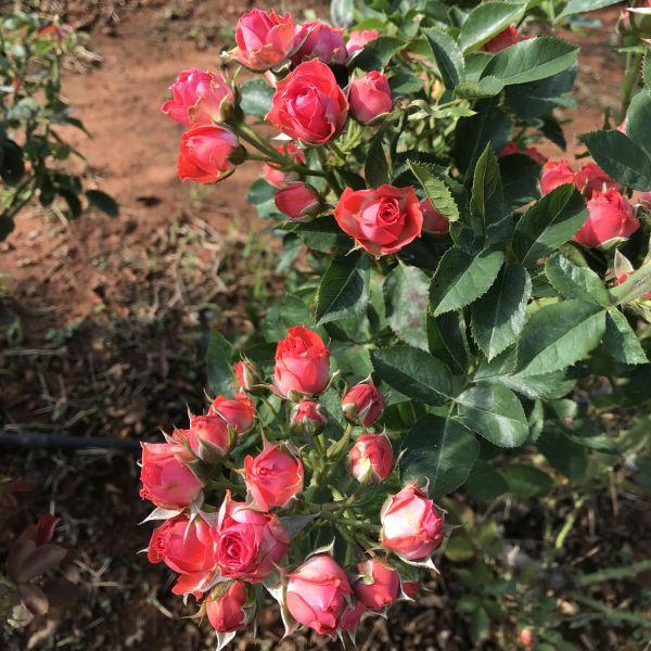 Rosa: Rose
