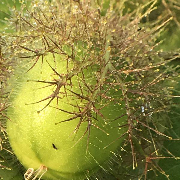 Passiflora foetida: Stinking passionflower