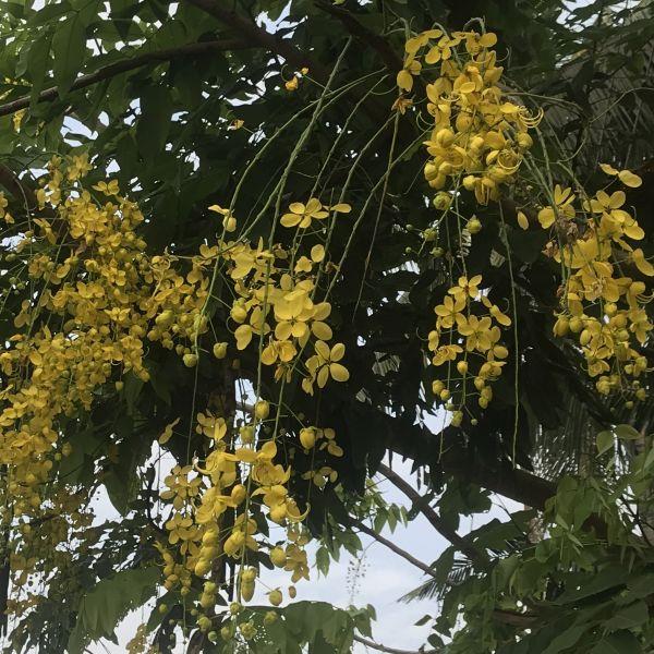 Cassia fistula: Golden shower tree