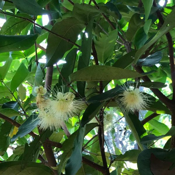 Syzygium samarangense: Wax apple