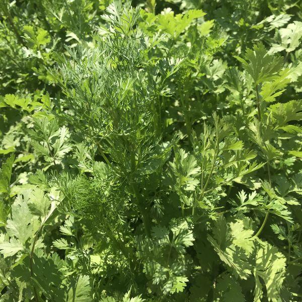 Coriandrum sativum: Coriander, Cilantro
