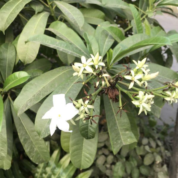 Cerbera manghas: Sea mango
