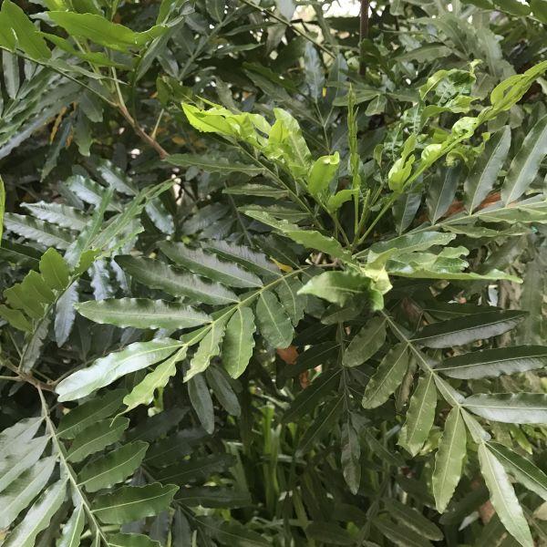 Filicium decipiens: Fern tree