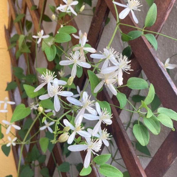 Clematis terniflora: Clematis vine