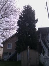 cedar near house