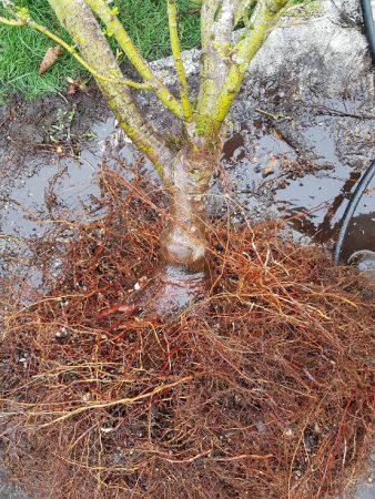 shishigashira roots