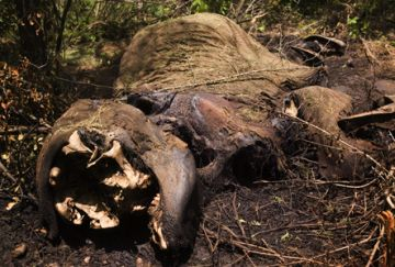 a close view of an elephant carcass