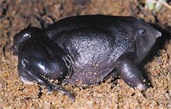 african purple frog of dinosauera