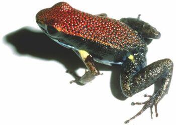 amazonian poison frog