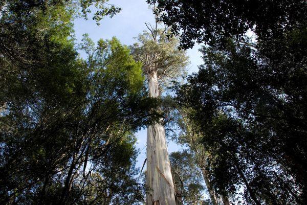 Australian Mountain-ash