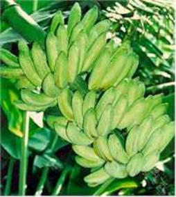 banana growth in india declining