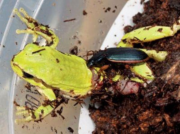 beetle n frog