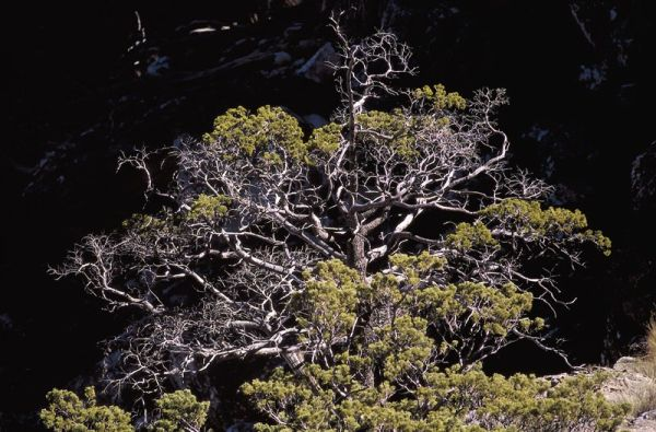 Endangered trees