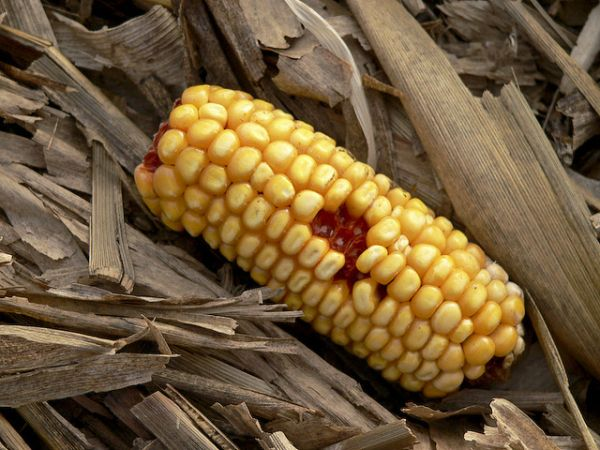 Ethanol made from corn 2