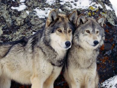 gray wolves2