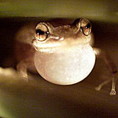 hawaii fights noisy frog infestatio