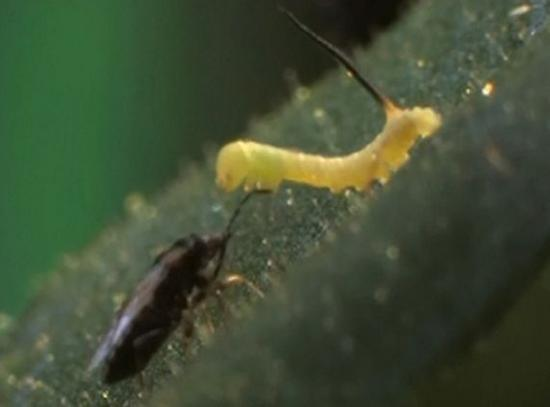 plants emit chemical to alert aides about herbivor