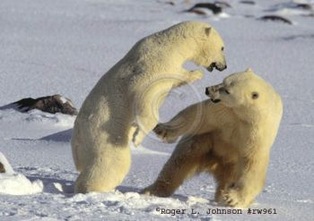 polar bears turning cannibalistic
