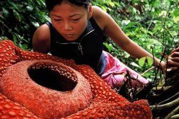 rafflesia arnoldii sumatra 9