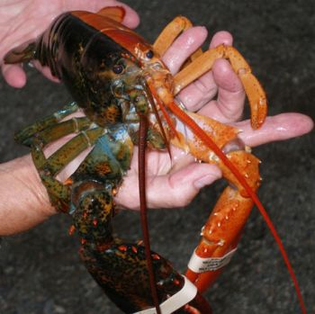 rare two toned lobster