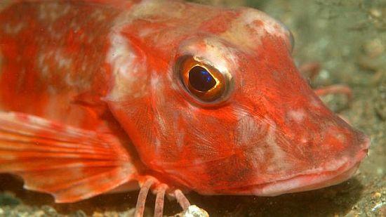 red gurnard