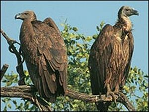 south asian oriental white backed vulture