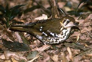 spotted ground thrush