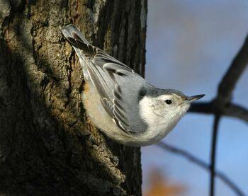 uks songbird threatened